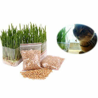 Harvested Cat Grass 1 Oz / Approx 100 Seeds 100% Organic Chic