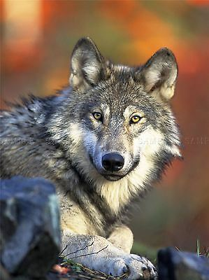 ANIMAL WOLF LUPINE DOG WILD COOL HOWL LARGE POSTER ART PRINT BB3003A