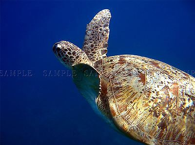 Green Sea Turtle Underwater Photo Art Print Poster Picture Bmp089A