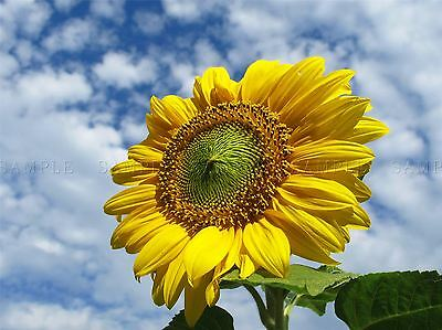 Sunflower In The Wind Photo Art Print Poster Picture Bmp516A