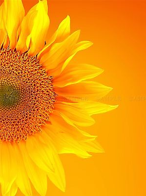 FIELD SUNFLOWERS BRIGHT YELLOW PURPLE PHOTO ART PRINT POSTER PICTURE BMP294A