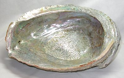 """Vintage Huge,1940's California Abalone Shell,Approx. 9"""" by 7"""" by 3.5"""" Rare Size"""