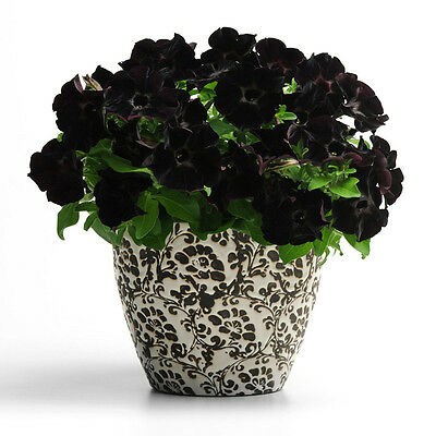 Black Velvet Petunia Seeds.Beautiful Flowers. Orchids And Others