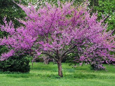 Cercis Chinensis - Chinese Redbud Tree seeds. Great for garden or bonsai Tree