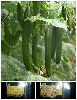 Long Greek Cucumber ~20 Top Quality Seeds - Amazing Variety!