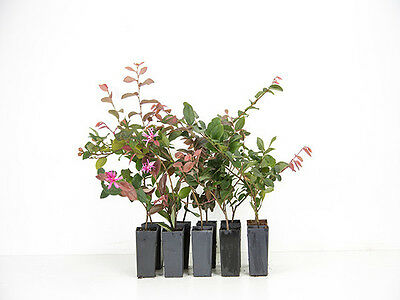 Loropetalum China Pink. 10 Plants Chinese fringe flower  Great flowering Hedge