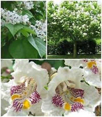 Northern Catalpa speciosa 10 Tree Seeds Winter Hardy White fragrant flowers 2015