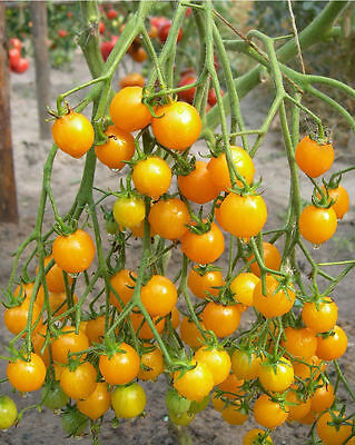 Tomato Seeds Сherry Yellow Ukraine Heirloom Vegetable Seeds