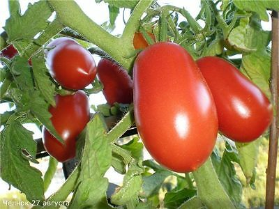 Tomato Seeds Canoe Ukraine Heirloom Vegetable Seeds / 75 seeds