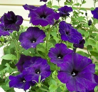Flower Petunia seeds Blue Beder from Ukraine
