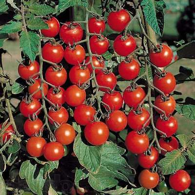 Tomato Vegetable seeds Vyshenka from Ukraine early indoor
