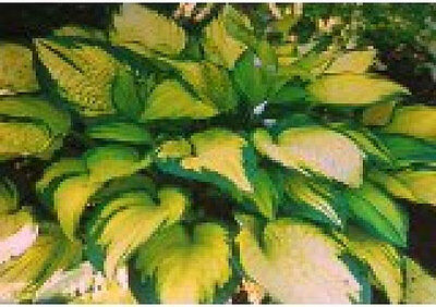 Hosta-Green & Gold 25+ seeds Buy 2 Get 1 free until aug 01 2017 perennial