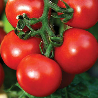 Seeds Tomato Moscow Stars F1 Ukraine Heirloom Vegetable Seeds
