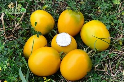Tomato Seeds De Barao Gold Ukraine Heirloom Vegetable Seeds