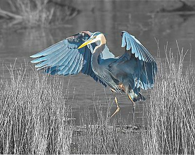 Gray Blue Photo Art Wall Print Great Blue Heron Bird Home Decor Picture with Mat