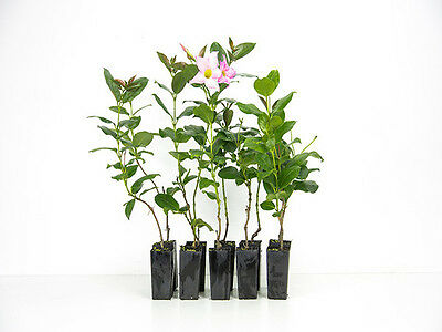 Dipladenia Rosea- 10 Plants Flowering Pink Climber Grow as shrub in pot plant