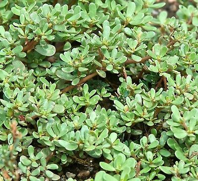 Green Purslane Many Sizes Edible Super Salad Greens or Sprouts #301
