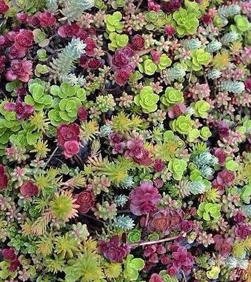 Sedum mixed 100 seeds *succulents excellent performing ground cover CombSH D45