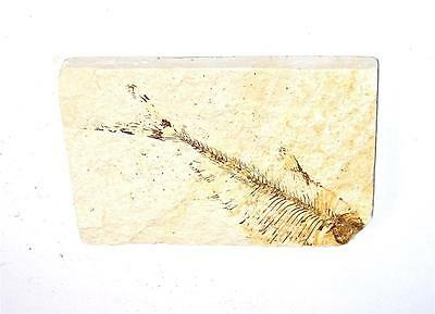 FOSSIL Green River Formation Wyoming 50 Million Years Old FISH F11