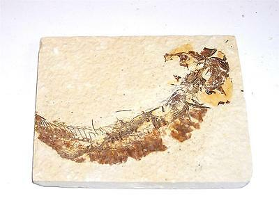 FOSSIL Green River Formation Wyoming 50 Million Years Old FISH F13