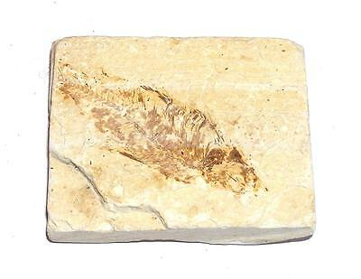 FOSSIL Green River Formation Wyoming 50 Million Years Old FISH F14