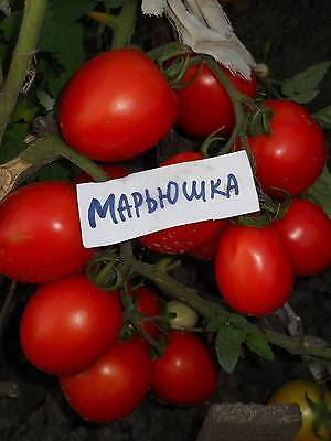 Tomato seeds Maryushka (LOW) vegetable seeds from Ukraine