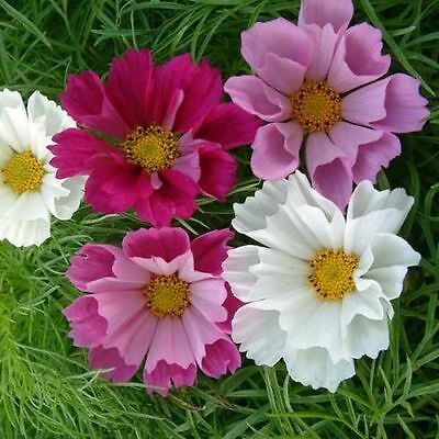 Cosmos Bipinnatus Ci Wells Flower Seeds from Ukraine