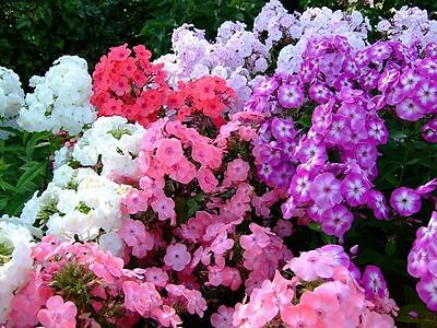 Phlox Low Flower Seeds from Ukraine