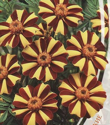 Marigolds rejected Flowers Majestic annuals Seeds  from Ukraine