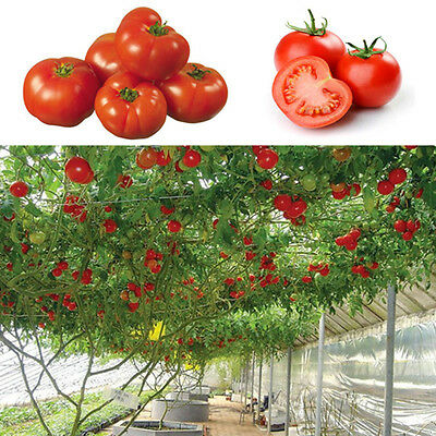 10pcs Seeds Sweet Huge Tree Tomato Fruit Vegetable Seed Home Garden Plant