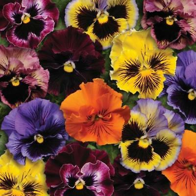 Pack Flower Seeds Pansy 'Frizzle Sizzle' Mixed Kings Quality Garden Seeds