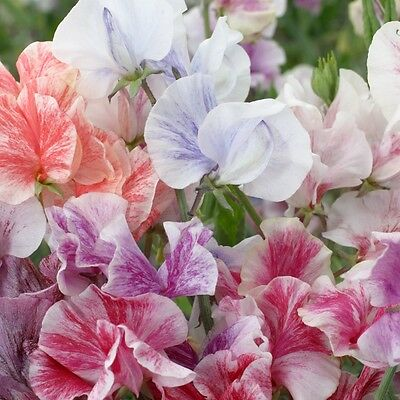 Pack Flower Seeds Sweet Pea 'Streamers Mixed' Kings Quality Garden Seeds