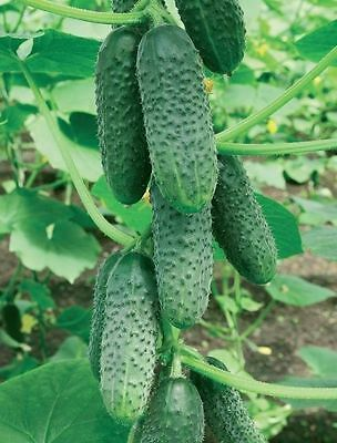 Seeds Cucumber Wisconsin Ukraine Heirloom Vegetable Seed