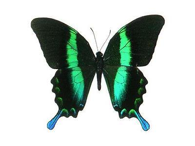 BUTTERFLY/MOTH Unmounted Indonesia PAPILIO BLUMEI