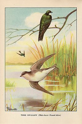 """1926 Vintage TODHUNTER BIRDS /""""BOBOLINK/"""" LOVELY 90 YEARS OLD Color Art Lithograph"""