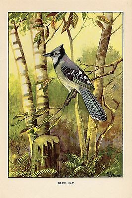 """1926 Vintage TODHUNTER BIRDS /""""CHESTNUT-SIDED WARBLER/"""" 90 YEARS OLD Lithograph"""
