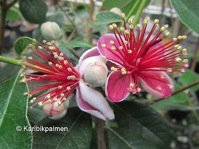 Acca sellowiana - brasil. Ananasguave - Pflanze 30cm bis -10°C - Feijoa Frucht