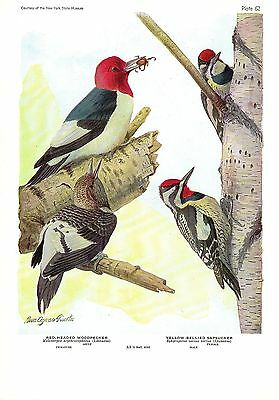 "1936 Vintage FUERTES BIRDS #2 /""3 LOONS BLACK/"" Color Art Plate Lithograph RED"