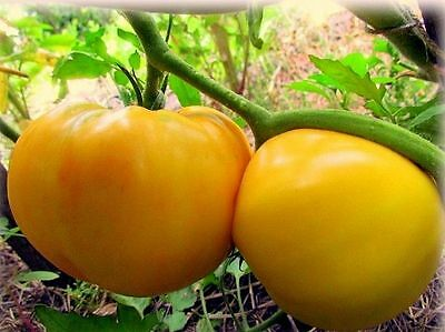 Tomato seeds Lemon Gigant  Vegetable  seeds / 60 seeds