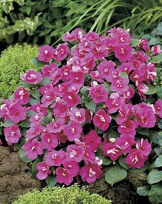 Impatiens Seeds 25 Seeds Double Victorian Rose