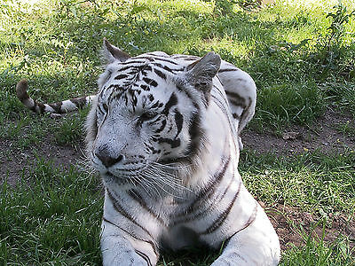 Adoption package supporting Nora - White Bengal Tiger