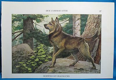 Vtg Norwegian Elkhound Dog Print Louis Fuertes Natl Geographic Book of Dogs 1927