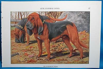 Vintage Bloodhound Dog Print Fuertes Natl Geographic Book of Dogs 1927