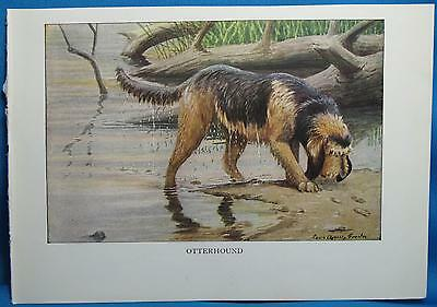 Vintage Otterhound Dog Print Louis Fuertes Natl Geographic Book of Dogs 1927