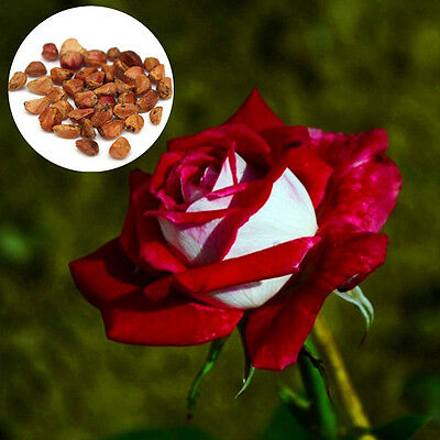 20PCS Lover Osiria Rose Seeds Rare Color Exotic Flower Beauty Home Garden Plants