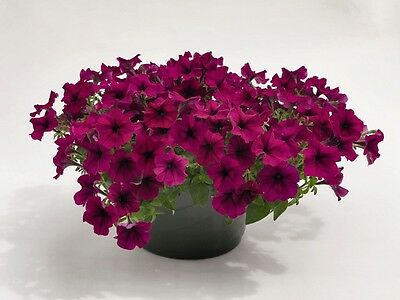 "Trailing Petunia Seeds Success Burgundy 25 Pelleted Seeds ""NEW"" true color"
