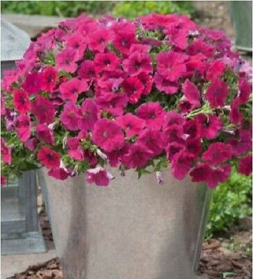 "Trailing Petunia Seeds Success Rose 25 Pelleted Seeds ""NEW"" true color"