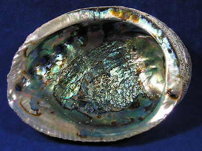 """HUGE Abalone Shell, Perfect to burn Sage Smudge, Resin, Incense (4"""" to 5"""" inchs)"""