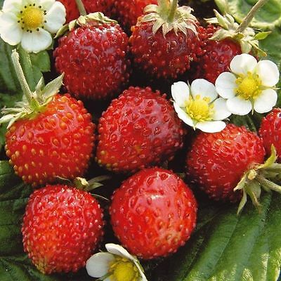 Strawberry Seeds Berries Seed Aleksandiya