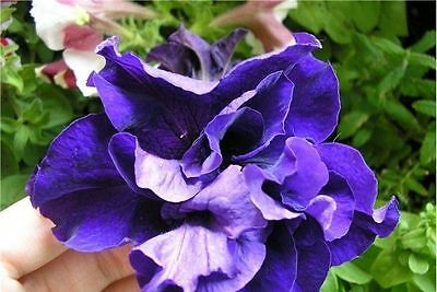 Flower Seeds Petunia Duo blue F1 from Ukraine